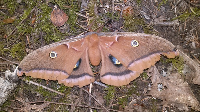 "A Polyphemus moth, photographed by David Clements last summer, is one of the many insects he grew up admiring as a ""nature nut."""
