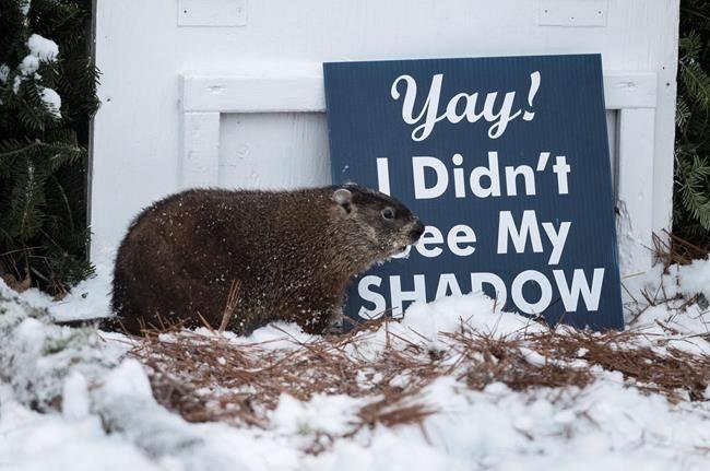 Wiarton Willie, Shubenacadie Sam 'predict' early spring on Groundhog Day
