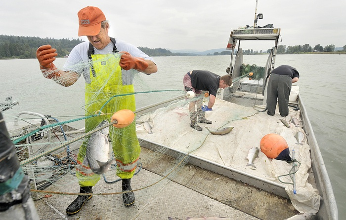 A commercial fishery for sockeye salmon on the Fraser River is so far looking unlikely this year, due to a projected weak return.
