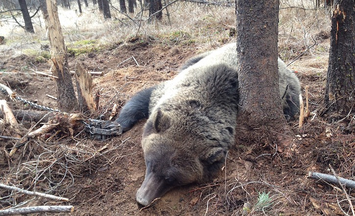 Female grizzly bear caught in a wolf trap near Invermere was freed and released.