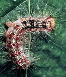 Gypsy moth caterpillar. Nearly 200 male European gypsy moths were caught in pheromone traps last summer in Cloverdale on trees along 64 Avenue.