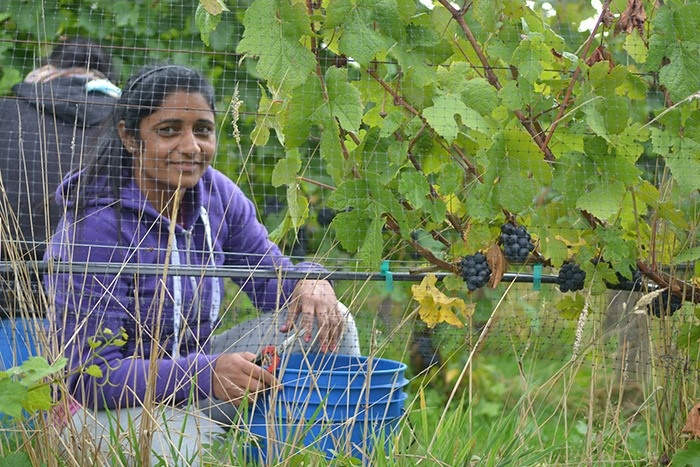 Pickers were busy harvesting pinot noir variety at Langley's Backyard Vineyard last week. Because of the hot, dry summer weather the grapes were ripe well ahead of schedule this year.
