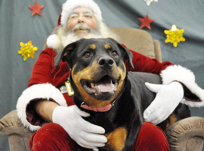 "Rottweiler ""Sophie"" has her picture taken with Santa at Tisol Pet Nutrition Store. All proceeds from the event  held on Dec. 3 and 4 went to Canadian Distaster Animal Response Team for emergency animal rescues."