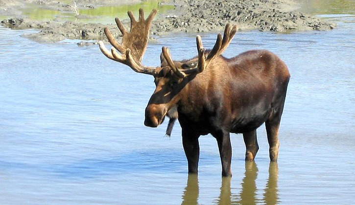 Moose populations have been declining in parts of the B.C. Interior, despite sharp reductions in authorized hunting of cow and calf moose.