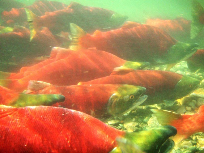 The DFO notice of 'immediate closure' of all salmon fisheries due to conservation concerns went out Aug. 11 at sundown for the tidal and non-tidal sections of the Fraser River.