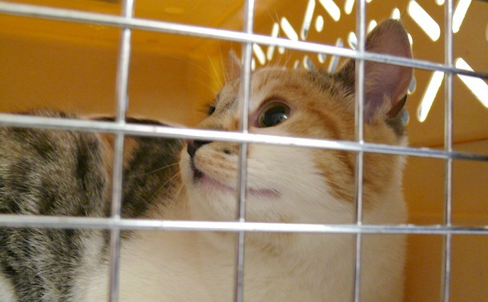 'Roo' was one of the first cats to arrive at LAPS during the fifth annual Kitten Roundup.