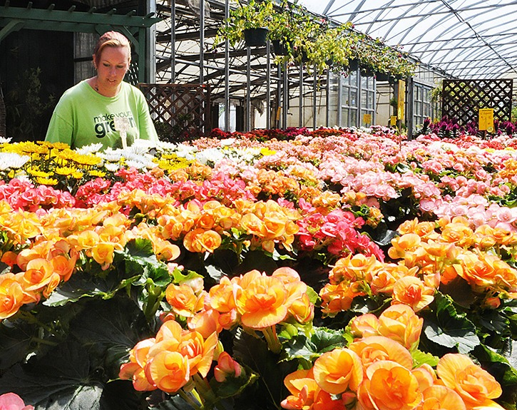 Jennifer Fruno arranges trays of bergonias, the last of the summer flowers at Gibbs Nurseryland which is closing at the end of September.