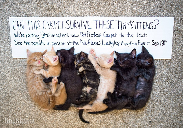 Nufloors Langley hopes to prove its Stainmaster carpet can stand up to the worst that a litter of kittens can throw at it. On Sept. 13, the store on the Langley Bypass will host a pet adoption day titled Sit, Stay and Save on behalf of Langley Animal Protection Society (LAPS).