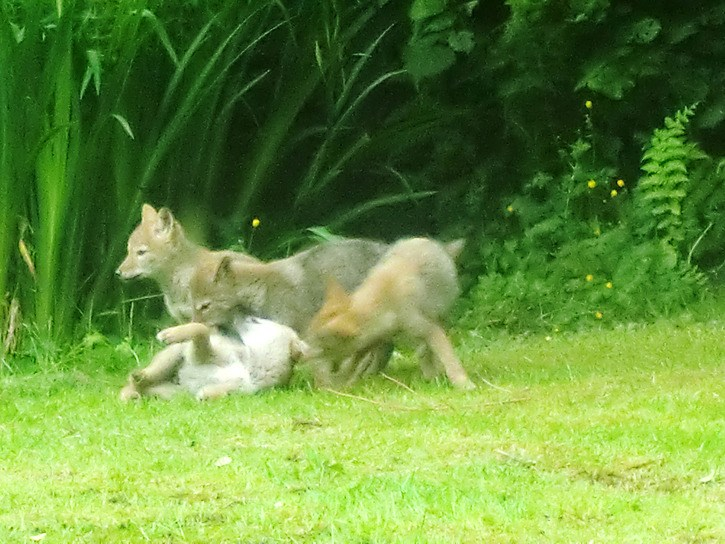 A mother coyote and her four pups have made a home in bushes at the foot of fhe Grade Crescent home of Mary Bockes who believes they are responsible for killing neighbourhood cats.