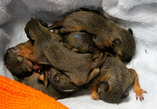 Eight baby squirrels were orphaned when their mom was killed in a construction accident in Cloverdale. They're now safe and sound at Critter Care Wildlife Society.