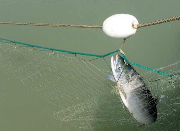 Just 853,000 sockeye salmon are estimated to be returning to the Fraser River this summer. That's about a third of what was expected, making it the worst Fraser sockeye run in 120 years.