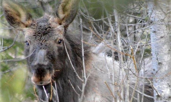 Moose in early spring showing large area where winter hair has been rubbed away to remove winter ticks. These so-called 'ghost moose' can die from heavy infestation.