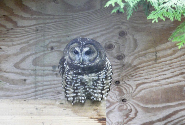 One of the spotted owls at the Northern Spotted Owl Breeding Centre in Langley