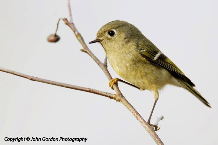 One of North America's smallest songbirds, the ruby-crowned kinglet breeds throughout the extent of Canada's boreal forest, including the Lower Mainland. No word on whether any were spotted during this year's Christmas bird count, which was  held Jan. 2.