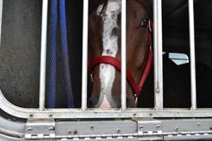 This quarter horse was seized at the Aldergrove border because its owners tried to claim they paid $10,000 for it when they really paid $140,000.
