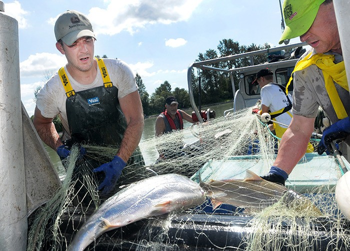 Mike Armstrong, left, and Phil Eidsvik, haul in salmon, during a commercial fisheries opening for gillnetters on the Fraser River in August.