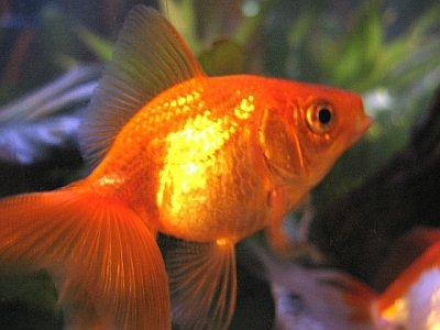 Our parenting columnist, Kristyl Clark, used the death of her young daughter's goldfish 'Happy' as a chance to prepare the toddler for the prospect of losing a beloved family member.