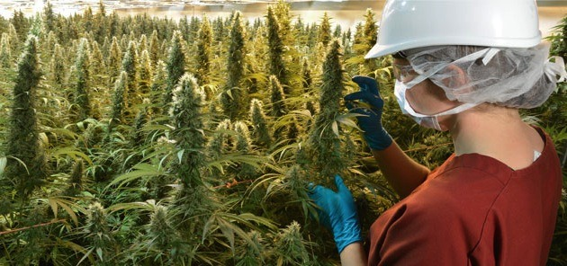 Marijuana growing in operations of commercially licensed producer CanniMed.