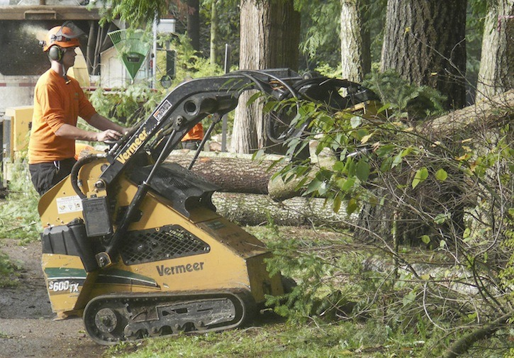 Crews are cutting down fir and hemlock trees in Hunter Park that have contracted root rot.