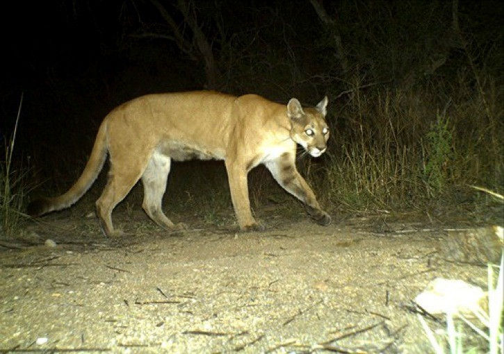 A cougar attack on a heifer in South Langley has caused readers who live in the area to share a number of their concerns.