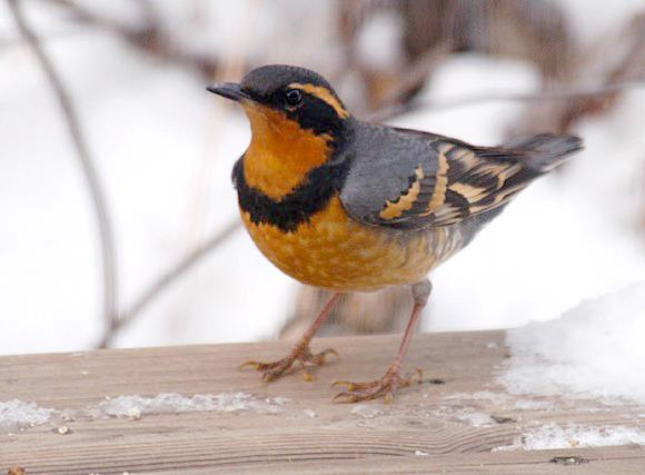 Clements captured this photo of a varied thrush from his own deck. The White Rock/Langley bird count takes place Jan. 3.