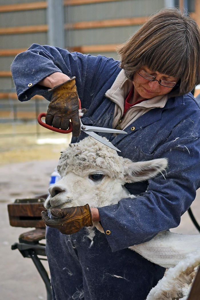 Using a pair of scissors, Connie Carlson trims fleece around the face of an alpaca.