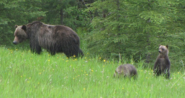 Mother grizzly bear with two cubs. Limited entry hunting for adult grizzlies is permitted in B.C. where populations support it.