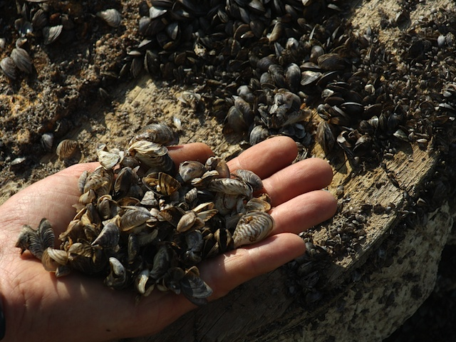 Invasive zebra mussels could create havoc with the ecosystems in B.C. lakes if they gain a foothold.