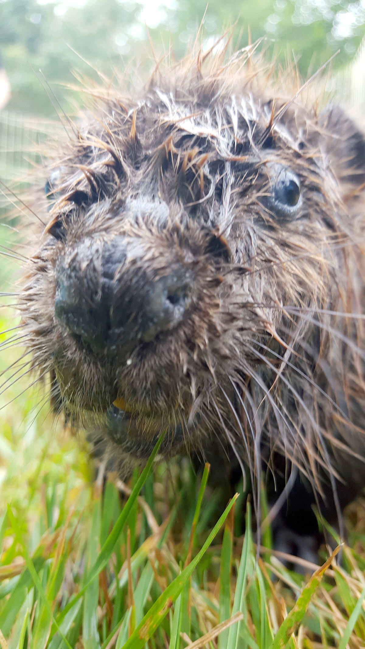 VIDEO: Beaver kits recovering in south Langley after taking a dip in motor oil