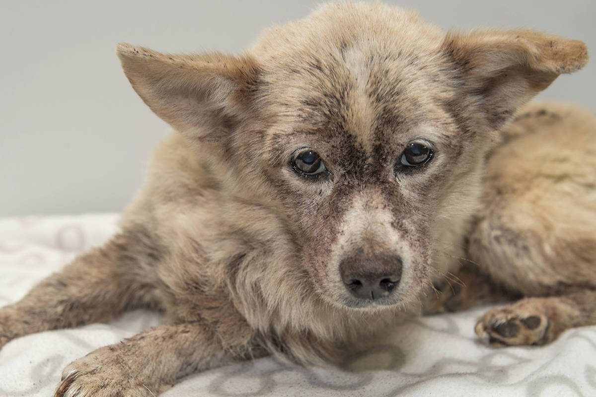 Rascal, a 14-year-old terrier, was surrendered to B.C. SPCA suffering from severe flea infestation. He almost died and required a blood transfusion. (Submitted photo)
