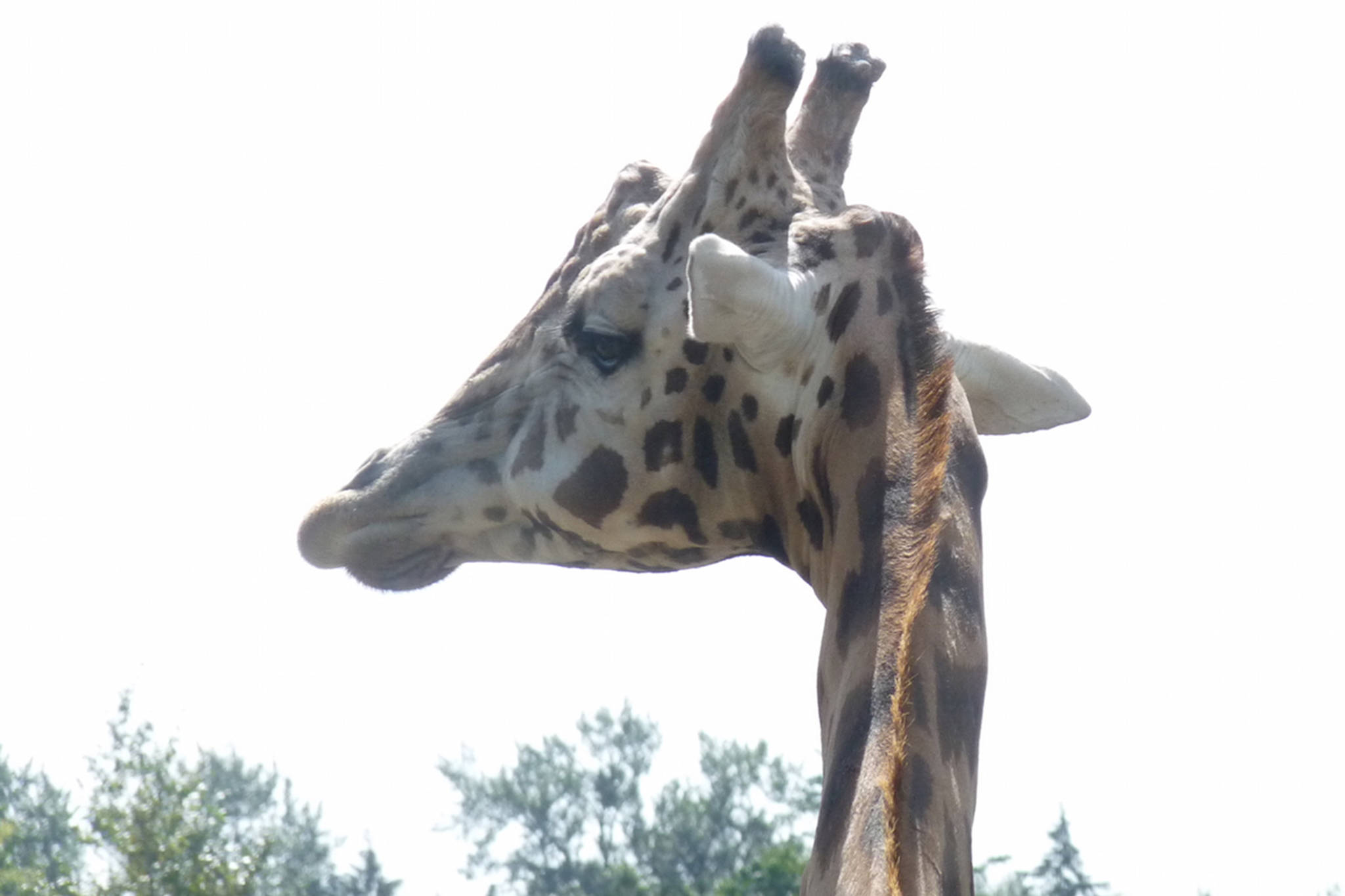 A giraffe overlooks the Greater Vancouver Zoo, which celebrated its 47th anniversary on the weekend. Dan Ferguson Langley Times