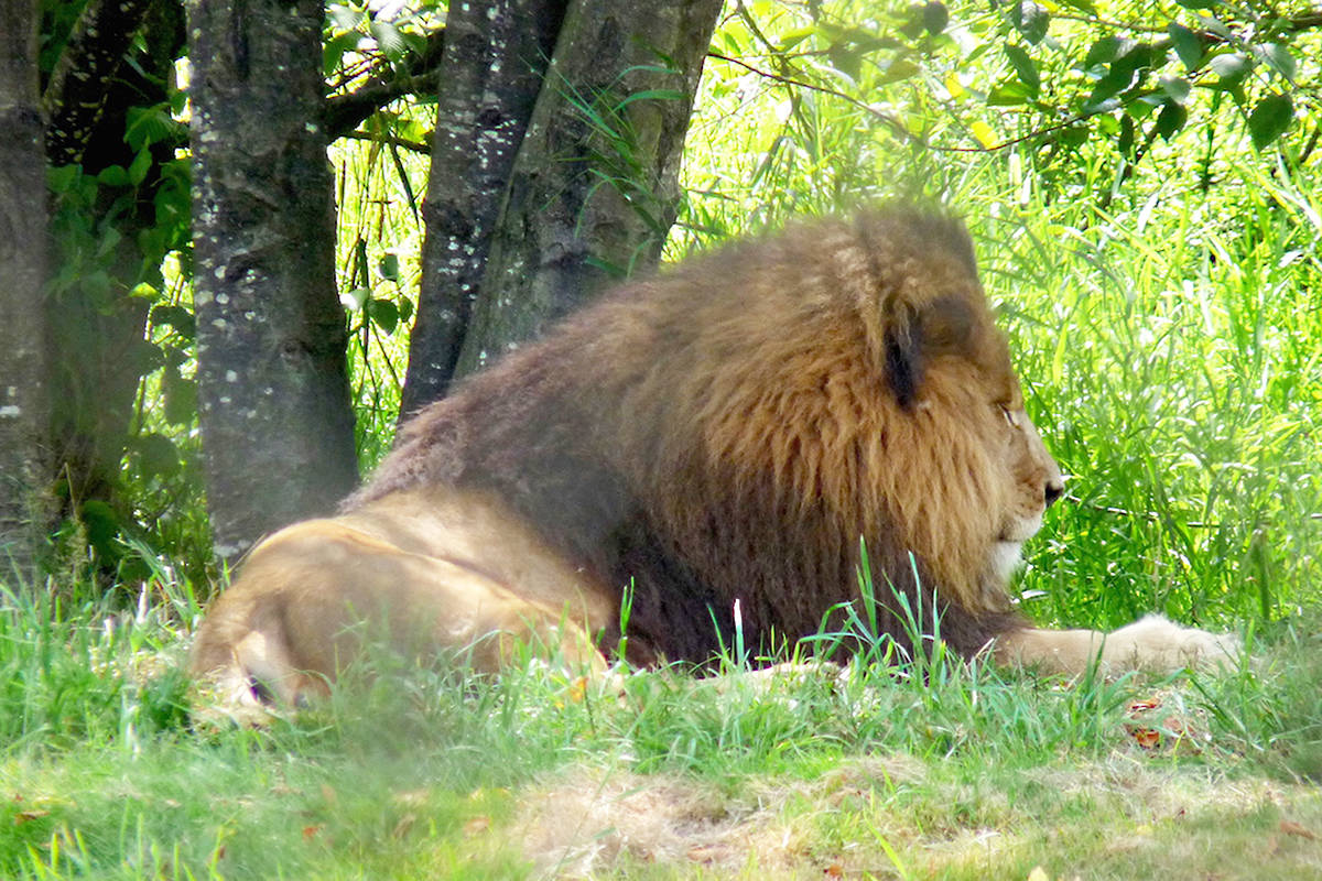 A lion seeks some shade at the Greater Vancouver Zoo on Sunday. The zoo just celebrated its 47th anniversary. Dan Ferguson Langley Times