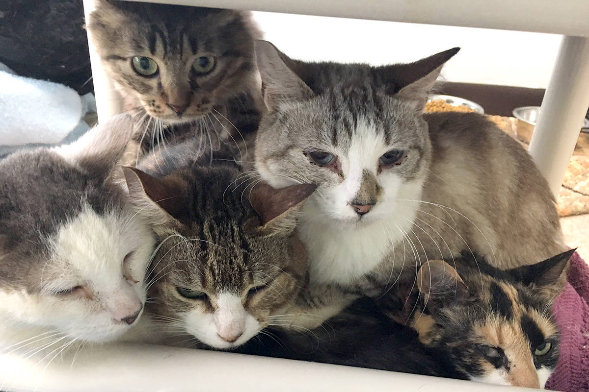 Five of the more than 50 cats surrendered from a single Victoria home huddled together. Most of the cats have upper respiratory and eye infections, and need serious dental work. (Photo courtesy of Victoria BC SPCA)