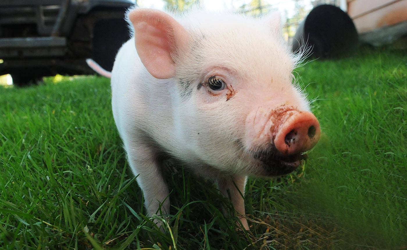 Garth the piglet Garth had an intestinal hernia and required emergency surgery. It cost $300 and donations, and thanks to the awareness media created, Garth's owner were able to pay for the surgery.                                Troy Landreville Langley Times
