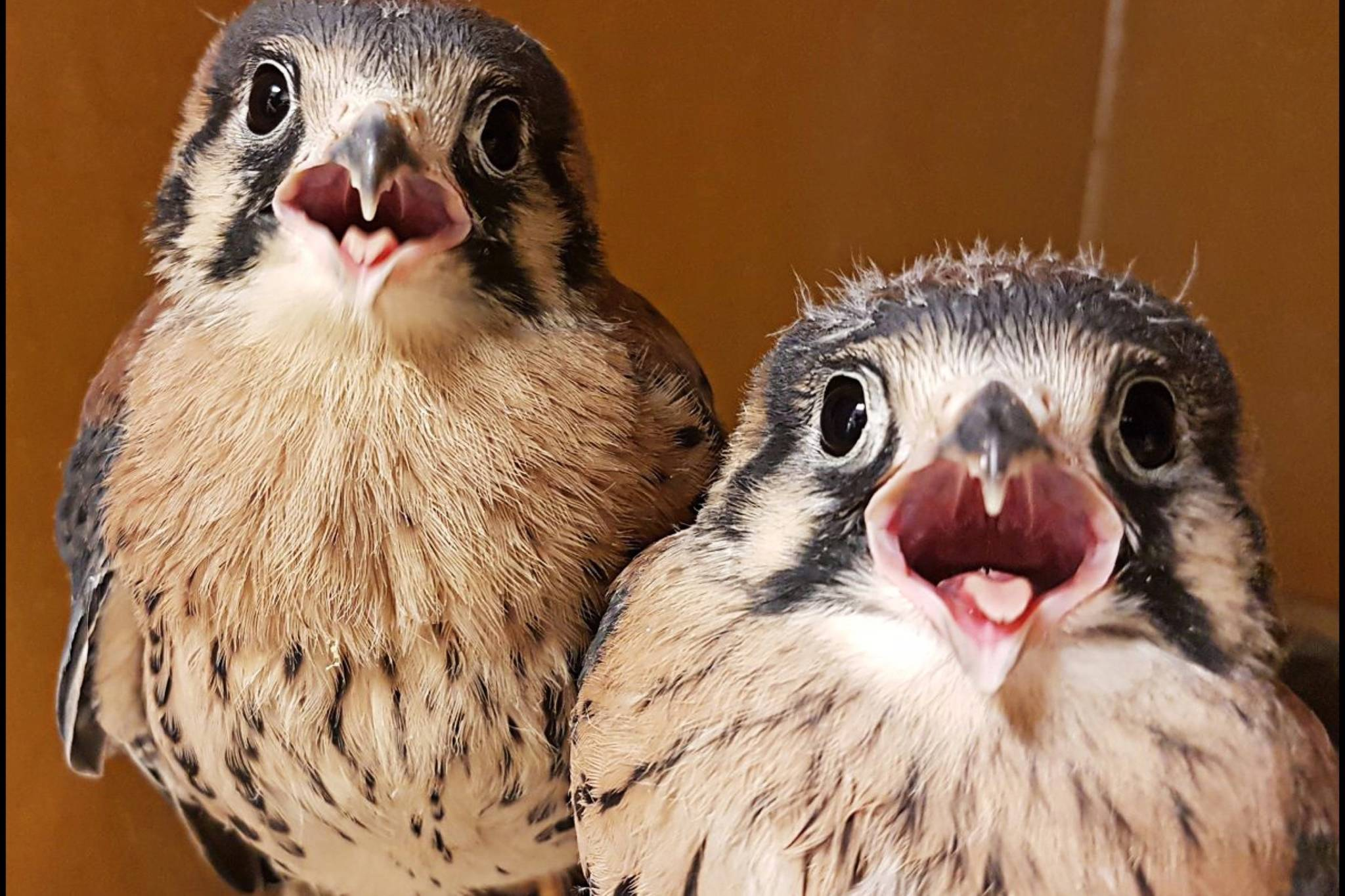 VIDEO: Kestrel chicks released into wild bring a happy end to wildfire season