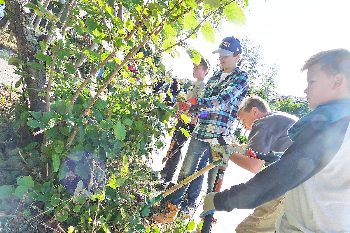 Student volunteers attack an invading Himalayan Blackberry plant in James Anderson Park in Langley. Dan Ferguson Langley Times