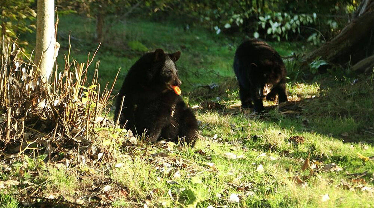 Two of three black bear cubs that arrived at the Greater Vancouver Zoo from Alaska in early September are seen here getting used to their new surroundings.                                submitted photo