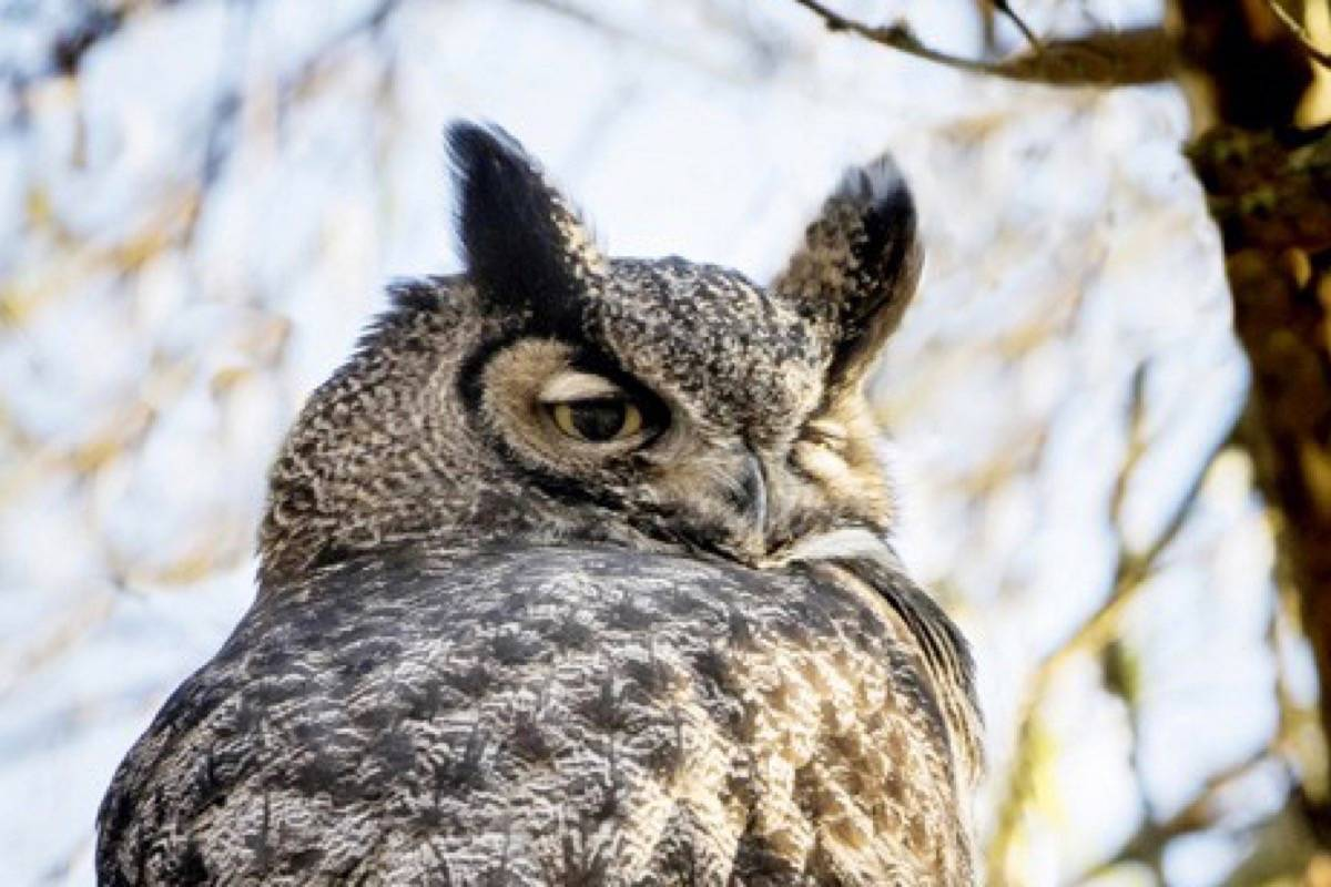 Bird enthusiast and professional photographer John Gordon took this stunning photo of a great horned owl in last year's Christmas bird count in Langley. Metro Vancouver invites kids to do a count this Saturday, Dec. 2 at Campbell Valley Park. John Gordon Photography