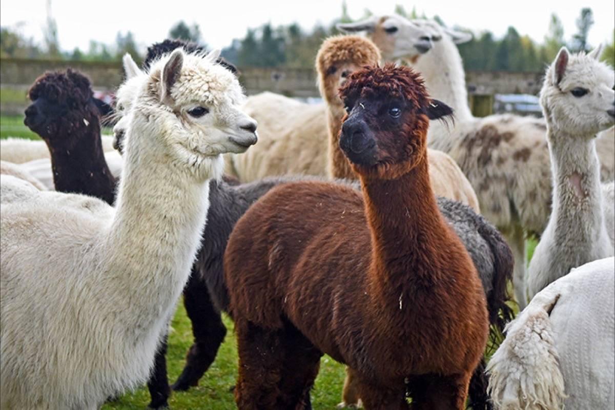 Alpacas at Kensington Prairie Farm. Langley Times file photo