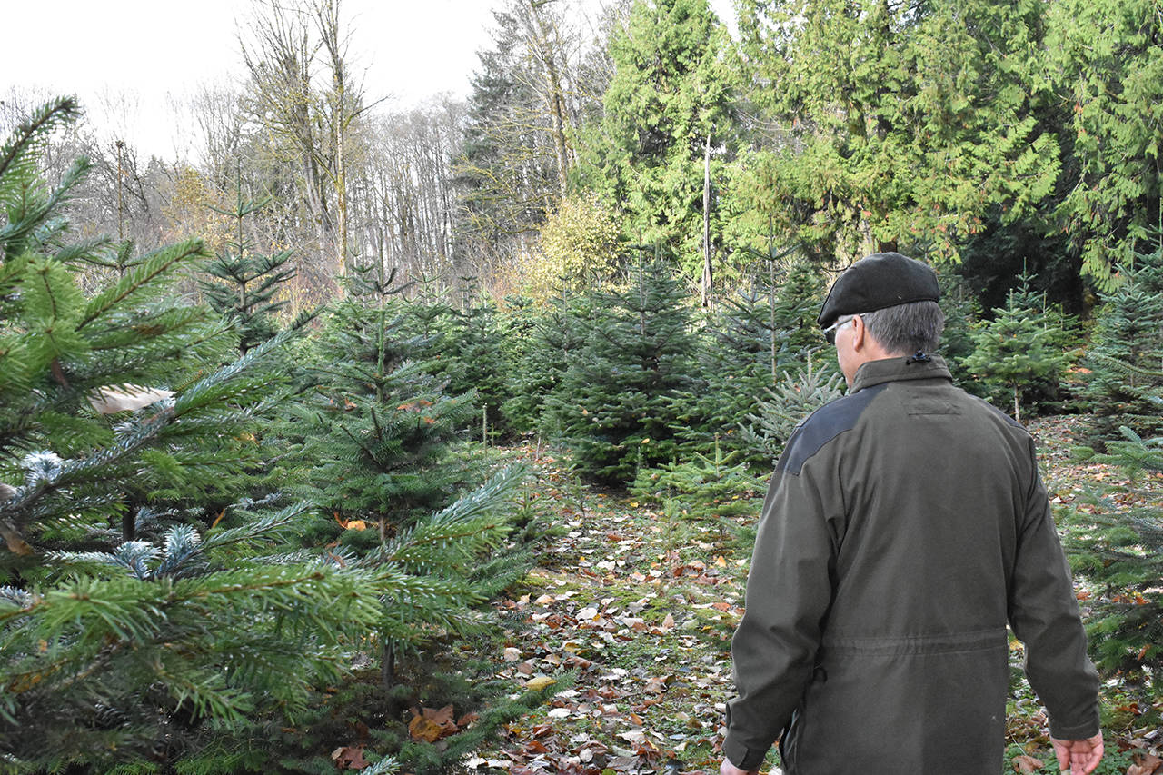 Peter Bladt has between 2,500 and 3,000 trees on his South Cloverdale farm, but likely won't be able to open the next four holiday seasons. Several years of drought, flooding and administrative issues have impacted his supply of tall trees, which means it will take several more years to grow. (Grace Kennedy photo)