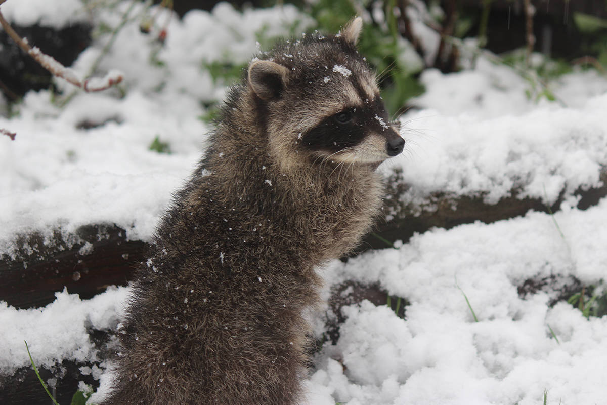 This raccoon is just one of the dozens rescued as babies and rehabilitated at Critter Care in Langley. He appears in this year's Critter Care calendar along with some of his wild friends. The calendar is just one of the items you can buy at their Christmas store open From Dec. 11-22.