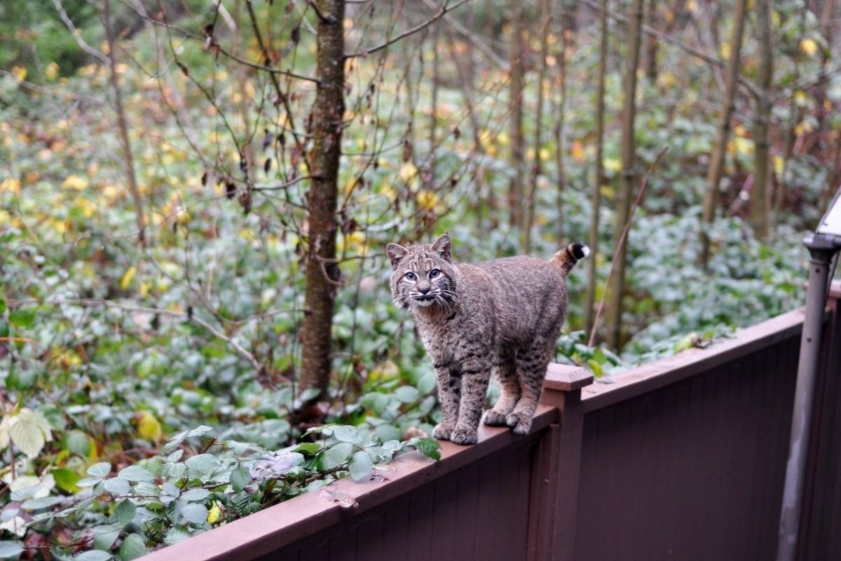 Nicole Leslie caught an image and video of elusive bobcat in east Maple Ridge, Sunday. (Contributed)