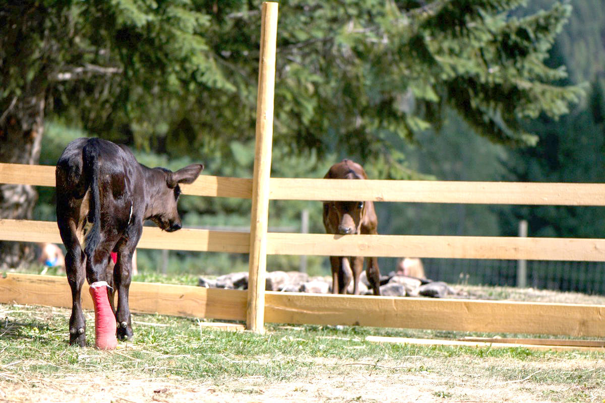 B.C. family under investigation after buying injured calves from dairy farm