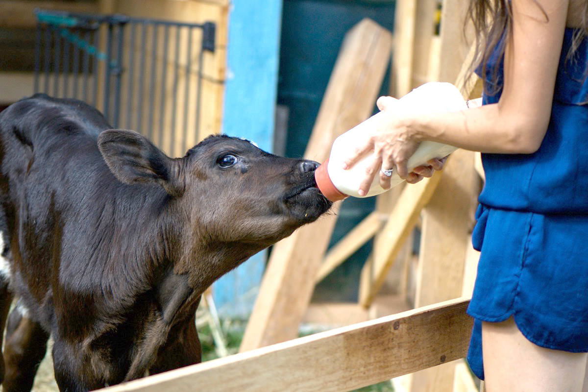 Patricia Smuga feeds one of two injured bull calves (above) her sanctuary rescued in August. Smuga is being investigated by a federal agency for illegally transporting the calves.  Photos submitted