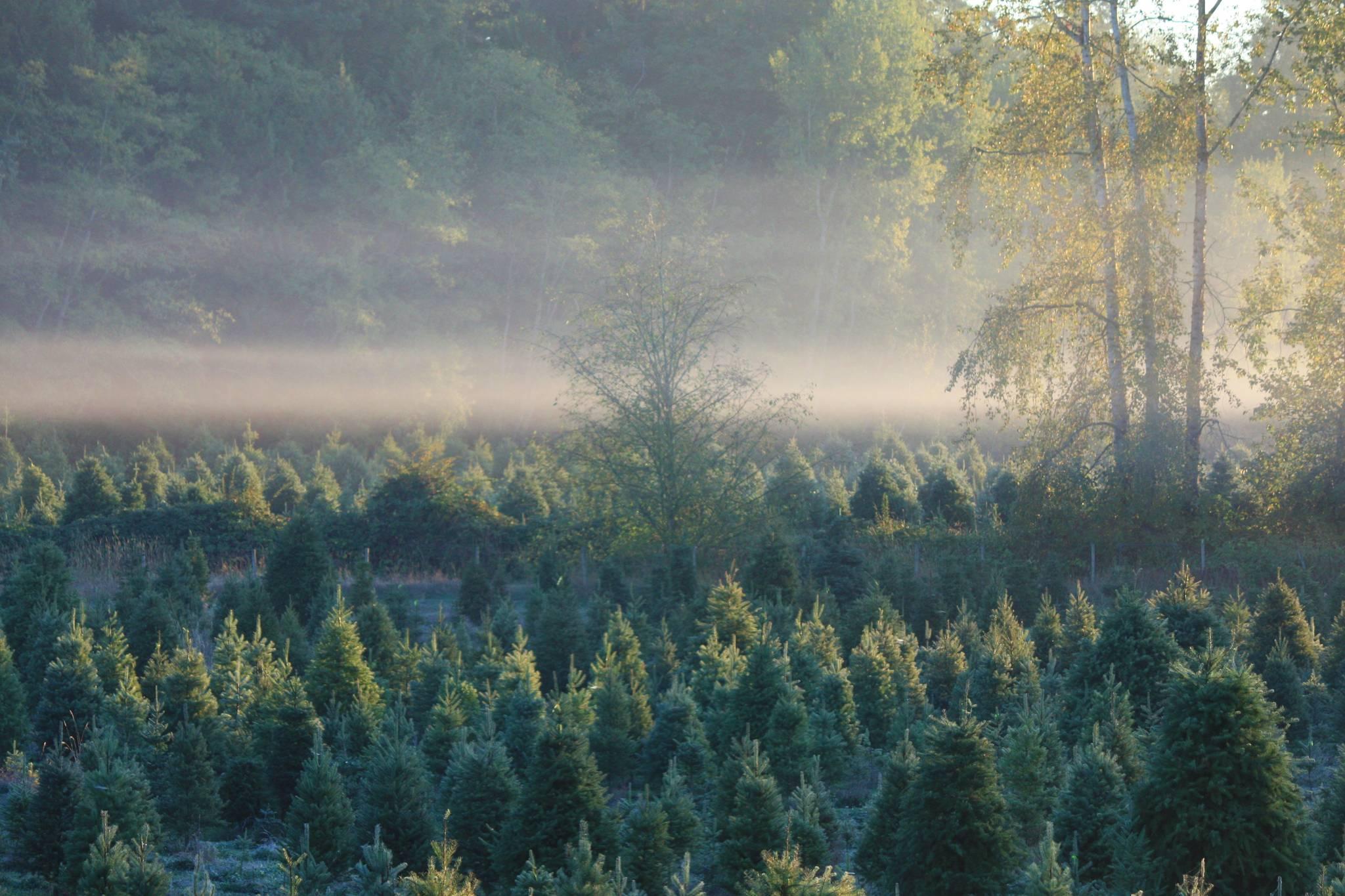 Christmas trees aplenty at Langley family farm