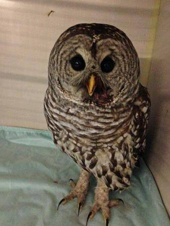 More barred owls sightings in Vancouver bad news for rats and mice