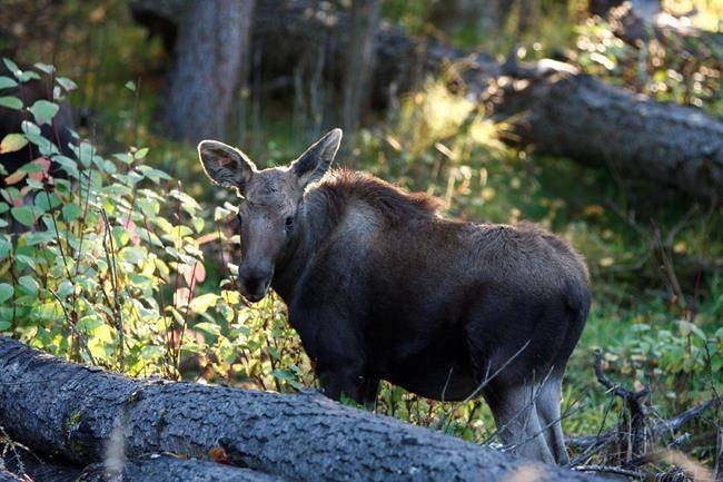 One of two orphaned moose calves that were rescued from near Prince George in May and have been rehabilitated at the Northern Lights Wildlife Society in Smithers is shown in a handout photo. (Handout/Northern Lights Wildlife Society via The Canadian Press)