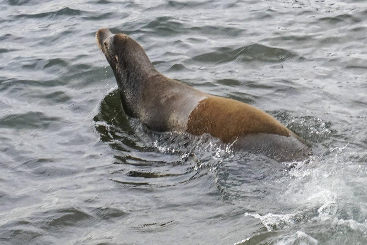 VIDEO: 3 months later, rescued sea lion released back into ocean