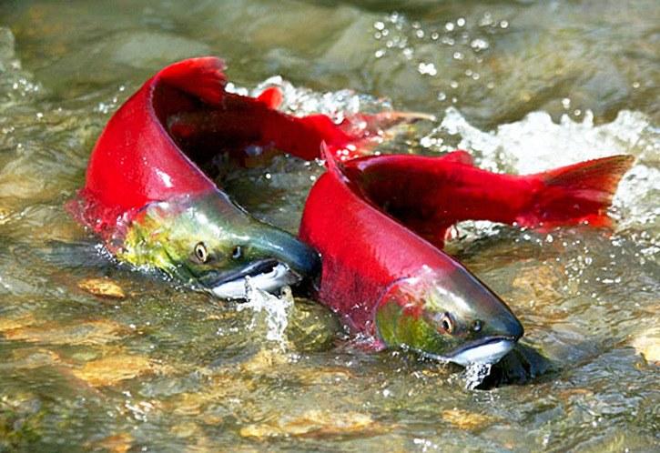 Small risk to wild Fraser River salmon for rare virus