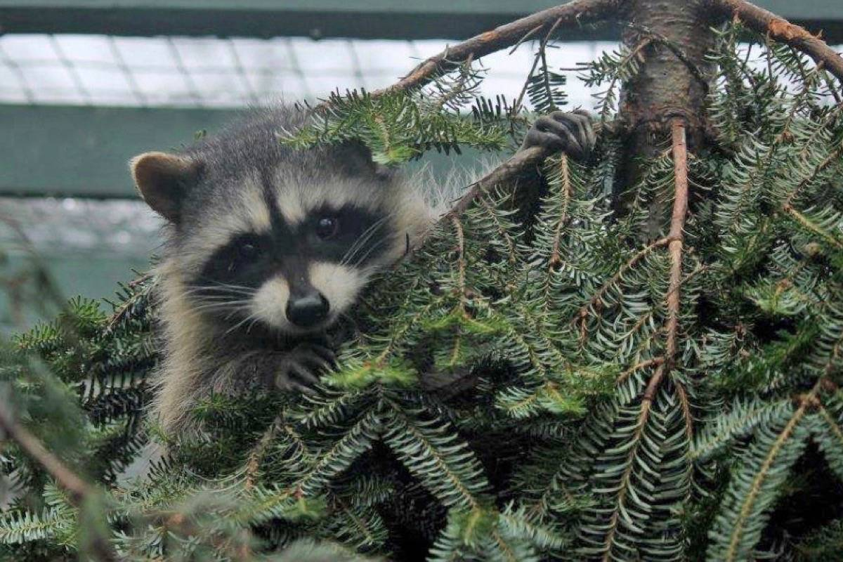 Critter Care wants your Christmas trees for their animals to climb on